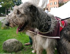 Irish Wolfhounds III