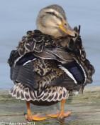 Madame Duck