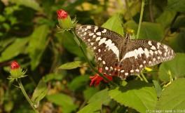 Tropischer Schmetterling V
