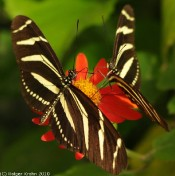Tropischer Schmetterling VI