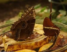 Tropischer Schmetterling VII