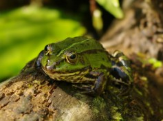 Froggy I