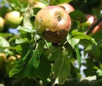 Apfel - 7648