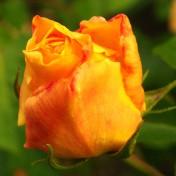 Gelbe Rose I