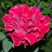 Rote Rose II