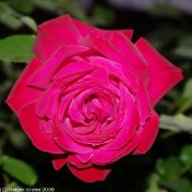 Rote Rose I