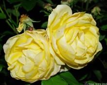 Gelbe Rosen I