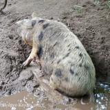 Turopolje-Schwein - 9415