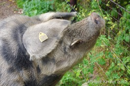 Schwein - 42321