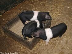 Schweinerei - 8888
