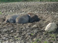 Schweine-Trio